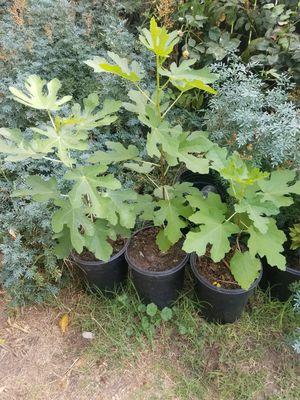 Fig tree asking $20 each one for Sale in Stockton, CA