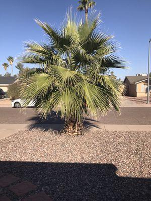 Palm tree for Sale in Phoenix, AZ