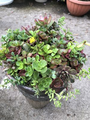 Succulents plants in its container! for Sale in Gresham, OR