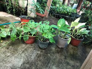Combo hanging plAnt on sale 4 plants in 4 in. Pot for Sale in Modesto, CA
