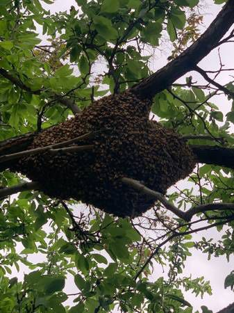 Free bee swarm removal 🐝🐝🐝