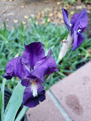Purple Iris Plant for Sale in Sierra Madre, CA