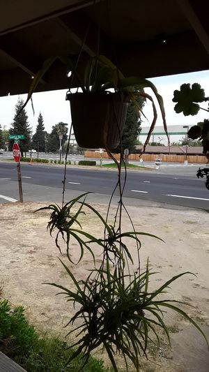 Spider plant for Sale in Riverbank, CA