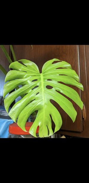 Monstera propagation for Sale in Los Angeles, CA