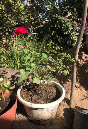Red Rose Bush 🌹 for Sale in Fresno, CA