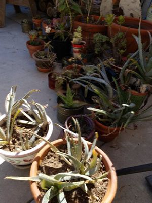 Succulents for Sale in Los Angeles, CA