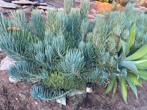 A mix of succulents plants for Sale in Spring Valley, CA