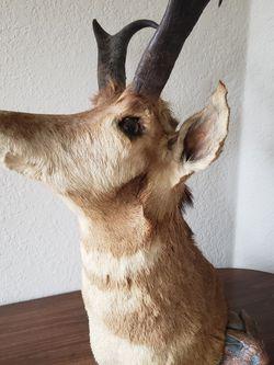 Pronghorn Antelope Shoulder Mount for Sale in Saluda,  NC