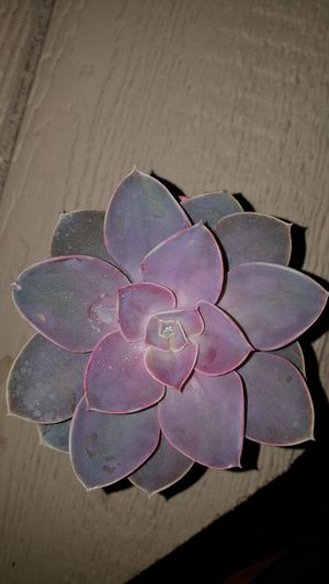Succulent for Sale in Stockton, CA