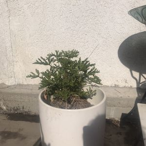 Citronella Plant With Large Vintage Pot for Sale in Long Beach, CA