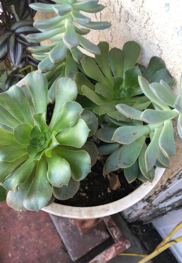Live plants succulents