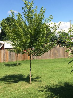 Silver maple tree for Sale in Lancaster, OH