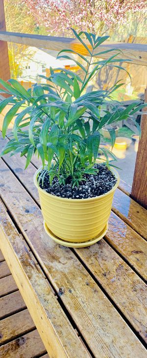Live indoor Neanta Bella Palm plant in a textured ceramic planter flower pot with attached base—firm price for Sale in Seattle, WA
