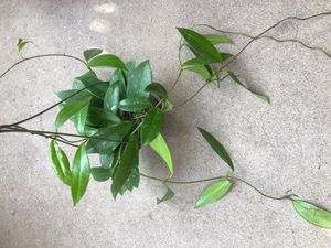 Hoya Publicalyx Pink Silver plant for Sale in Imperial Beach, CA