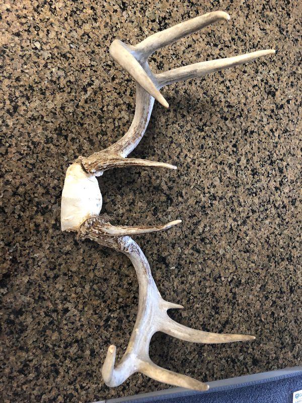 Whitetail deer antler set nine point