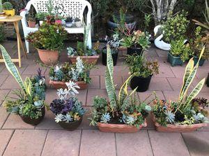 $5&UP You choose! Mix succulents plant flowers in pot snake jade bonsai cactus fire sticks Aeonium rosettes for Sale in El Monte, CA