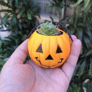 Mini Pumpkin Succulent Fuzzy Plant for Sale in Santa Ana, CA