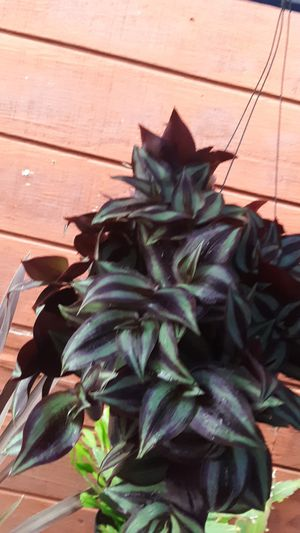 Hanging baskets with wandering jew plants today only $14 each for Sale in La Mirada, CA