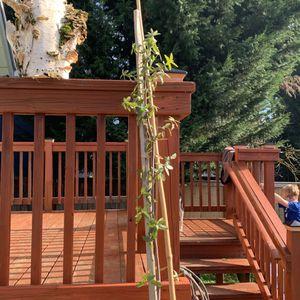 Free Emory Oak Tree Sapling for Sale in Washougal, WA