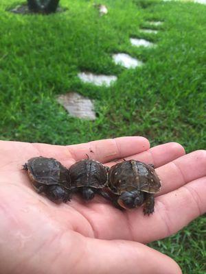 Hybrid box turtles for Sale in Boca Raton, FL