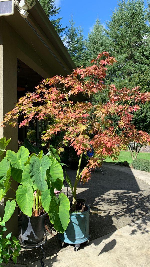 Beautiful Japanese Maple Tree For Sale In Black Diamond