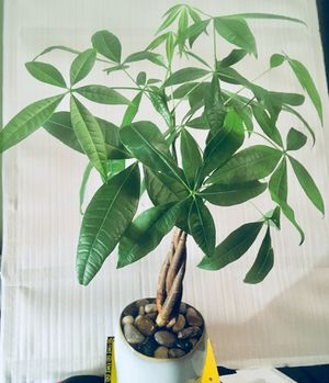 Bamboo Money Tree for Sale in Seattle, WA