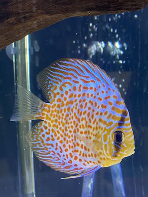 Discus Fish from Jack Wattley discus for Sale in Abington, MA