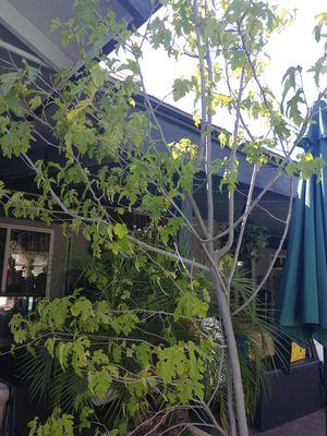 Tree for Sale in Clovis, CA