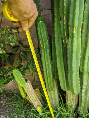San pedro cactus 10 feet for 150.00 for Sale in Montclair, CA