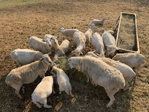 Kathadin sheep for Sale in Templeton, CA