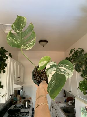 Variegated Monstera (albo variegata) for Sale in Los Angeles, CA