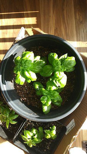 """Basil 8""""pot for Sale in Colorado Springs, CO"""