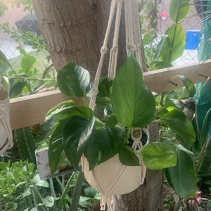 Plants De Sombra Pequeña Con Colgadera for Sale in Downey, CA