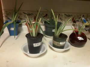 Fresh aleo plants for Sale in Peterson, IA