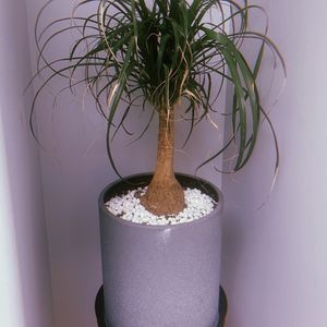 Elephant Foot Palm Plant Tree - Potted for Sale in Los Angeles, CA