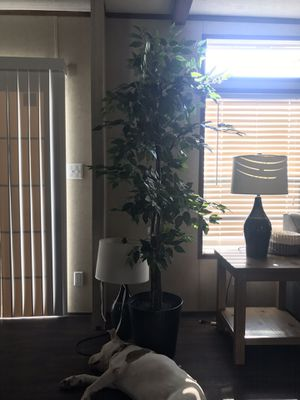 6ft potted ficus tree for Sale in Virginia Beach, VA