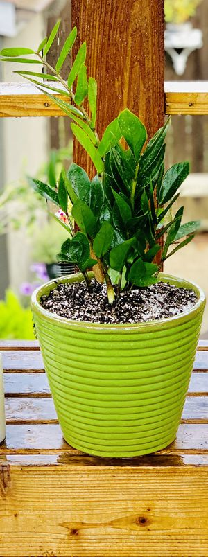 Live indoor ZZ house plant in a textured ceramic planter flower pot—firm price for Sale in Seattle, WA