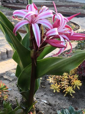 Beautiful tropical flower plant for Sale in Baldwin Park, CA