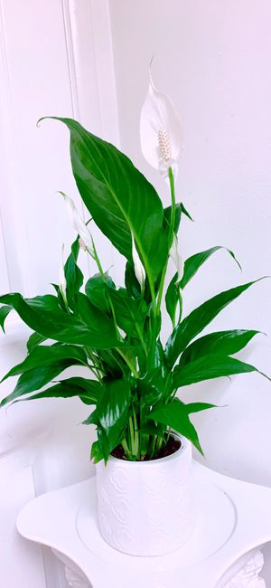 "SPATHIPHYLLUM - Peace Lily in 5"" Ceramic Vase - 22"" Tall - Air Purifying Plants for Sale in Garden Grove, CA"