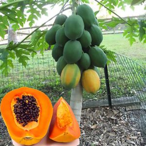 Papaya-pawpaw plants / Only four left asking $20 for all for Sale in Tampa, FL