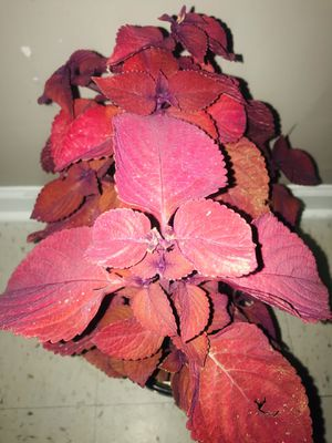 Red Head Sun Coleus plant for Sale in Roselle, IL