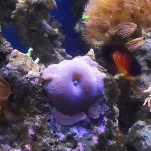 Mushroom coral for Sale in Chandler, AZ