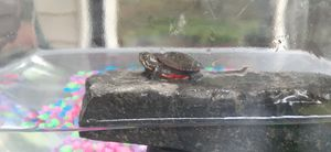 Baby Eastern painted turtle for Sale in Sudley Springs, VA