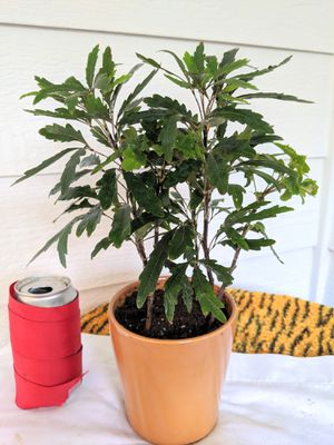 False Aralia Plants in Ceramic Planter Pot- Real Indoor House Plant for Sale in Auburn, WA
