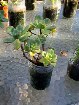 Live succulents In glass jar for Sale in Gardena, CA