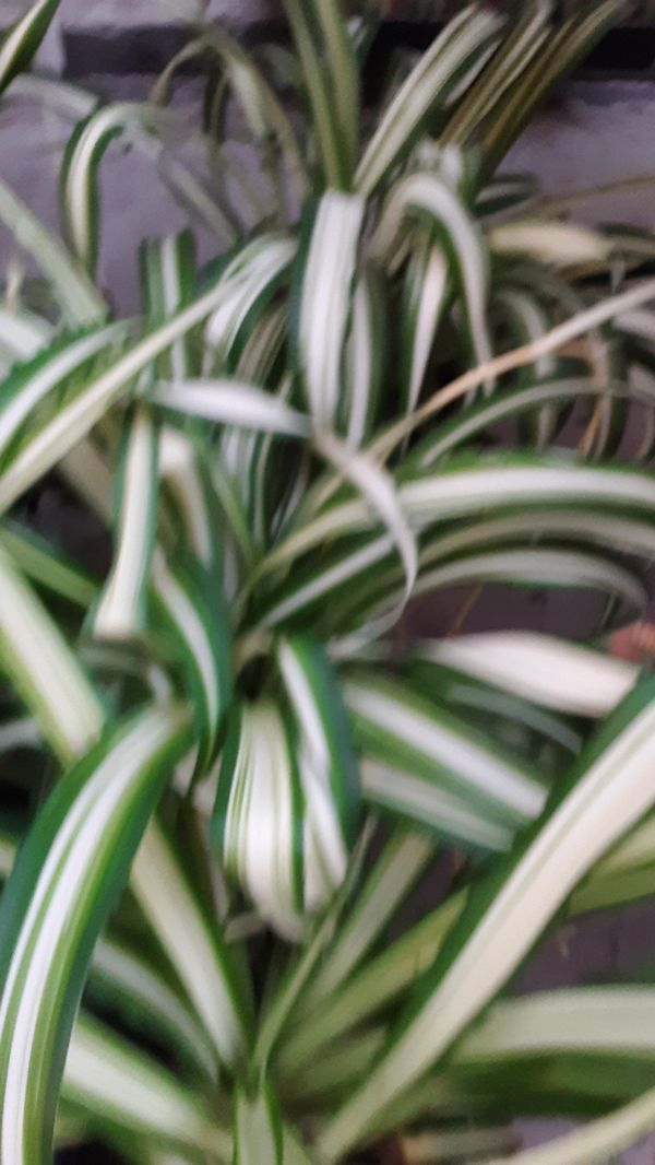 1 gallon pots with spider plant $5 each
