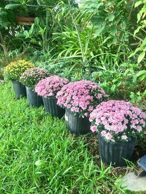 Mum Plants in 3 Gallon Pots for Sale in Hollywood, FL