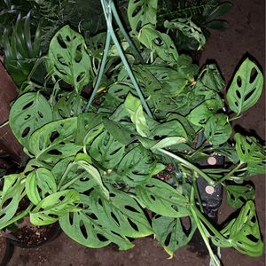 Swiss Cheese Plant 6 In Pot for Sale in Modesto, CA