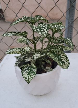 PLANT/ POT for Sale in Los Angeles, CA