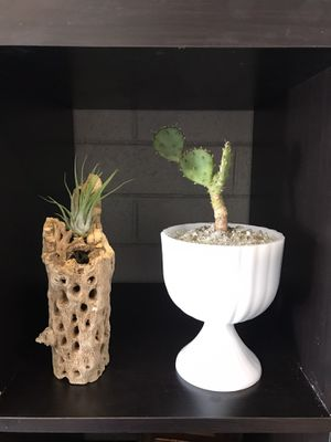 Plants, Cactus, vintage, for Sale in Scottsdale, AZ